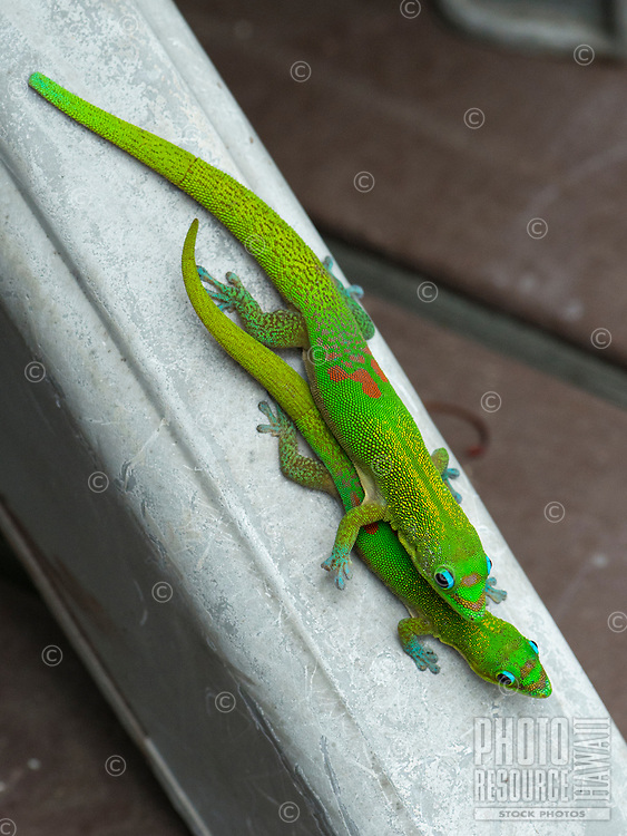A pair of gold dust day geckos on O'ahu.
