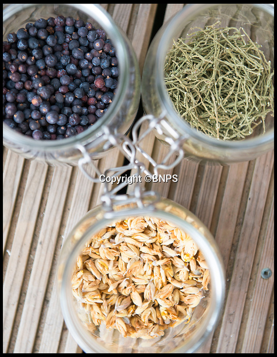 BNPS.co.uk (01202 558833)<br /> Pic: LauraDale/BNPS<br /> <br /> A sample of ingredients used in Batch 38 of Conker Spirit gin.  (Clockwise L-R) Juniper berries, dried samphire and hand-picked gorse flowers.<br /> <br /> A canny entrepreneur has launched Britain's smallest commercial gin distillery - after setting it up in the confines of his own kitchen.<br /> <br /> Rupert Holloway packed in his high-flying job as a chartered surveyor to start producing the trendy spirit one bottle at a time at his home in Christchurch, Dorset.<br /> <br /> His miniature distillery is the first ever to open in the county - and his unique recipe uses botanicals found in the hedgerows, forests and coastline of the county.<br /> <br /> He experimented with 37 recipes before settling on one made with gorse flowers and elderberriers hand-picked from the New Forest, and samphire, a sea vegetable, from the sea shore.<br /> <br /> The gin, called Conker Spirit, will be launched in time for Christmas and it is expected to sell for &pound;30 a bottle.