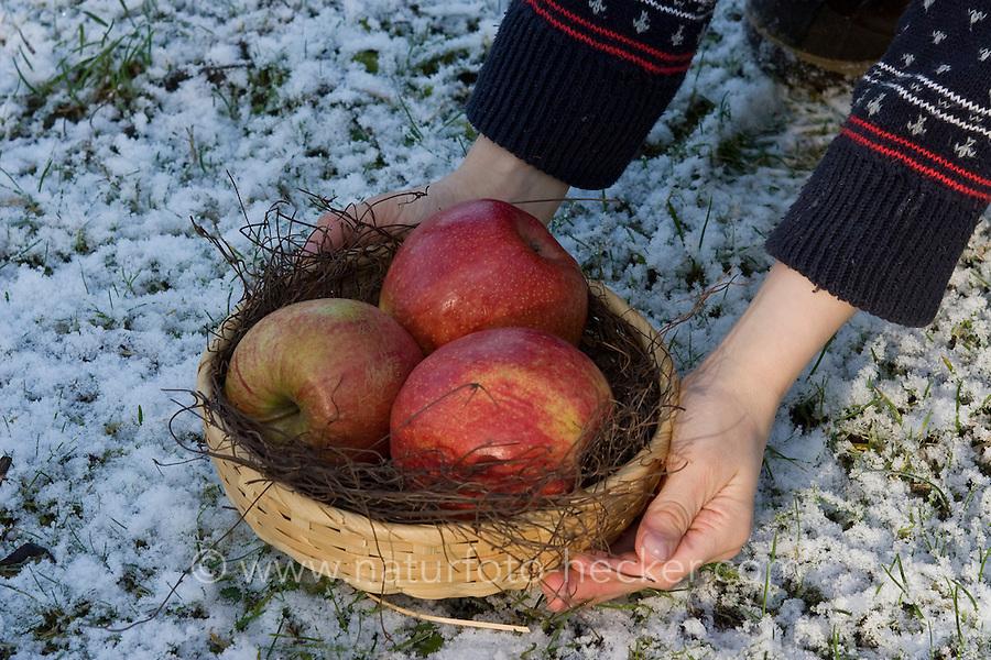 Äpfel werden in Schale im winterlichen Garten als natürliches Vogelfutter, Vogel-Futter angeboten