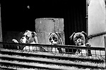 Puppy Farming Wales 1989. Three sad young Boxer's.