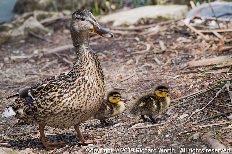 A female Mallard with two ducklings along the shores of Lake Elizabeth in  Fremont, California.