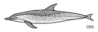 Spotted dolphin, Stenella attenuata, lateral view, pen and ink illustration.
