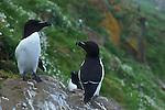Pingouin torda ( Alca torda ) razor bill