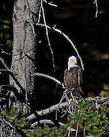 Bald Eagle, Yellowstone National Park