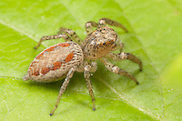 Dimorphic Jumper (Maevia inclemens) - Female, West Harrison, Westchester County, New York