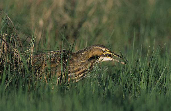 American Bittern, Botaurus lentiginosus, adult, Welder Wildlife Refuge, Sinton, Texas, USA, March 2005