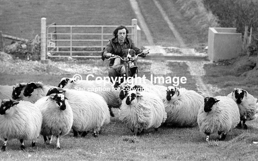 Sheep farmer, Norman McKee, Larne, Co Antrim, N Ireland, uses a trials motorbike, with sheepdog, Mitty, on board to round up his sheep. 20th December 1975. 197512200786b<br />