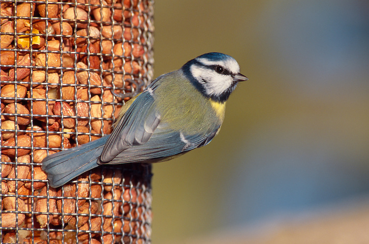 Blue Tit Parus caeruleus L 11-12cm<br /> Use pics 133123 and 133168 adult<br /> Familiar garden and woodland bird. Sexes are similar. Adult has greenish back, blue wings and yellow underparts. Mainly white head is demarcated by dark blue collar, connecting to dark eyestripe and dark bib; cap is blue. Bill is short and stubby and legs are bluish. Male is brighter than female. Juvenile is similar but colours are subdued. Voice Call is chattering tser err-err-err. Song contains whistling and trilling elements. Status Common resident of deciduous woodland, parks and gardens.