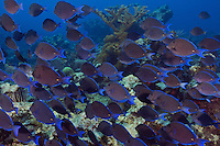 TR5601-D. Blue Tangs (Acanthurus coeruleus), big school traveling along the reef top in the late afternoon. These are herbivores that graze on algae. Cayman Islands, Caribbean Sea.<br /> Photo Copyright &copy; Brandon Cole. All rights reserved worldwide.  www.brandoncole.com