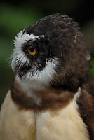 Coruja  murucututu ou murucutu da espécie (Pulsatrix perspicillata)<br /> Belém, Pará, Brasil<br /> Foto Paulo Santos<br /> 2008