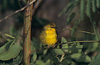 Blue-winged Warbler, Vermivora pinus, female, South Padre Island, Texas, USA