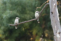 Two laughing kookaburras (Dacelo novaeguineae) perch in a gum tree near Adelaide, South Australia.