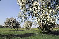 Streuobstwiese, Apfel, Obstplantage, Obstanbau, Obst, während der Blüte, Obstbaumblüte