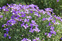 Blaukissen, Griechisches Blaukissen, Aubrieta deltoidea, Aubretia, lilacbush, purple rock cress, rainbow rock cress, purple rock-cress, rainbow rock-cress