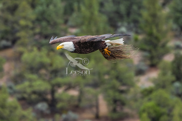 Bald Eagle (Haliaeetus leucocephalus)--adult bringing nesting material (grass to line top of nest) back to its nest.  Oregon.  May.