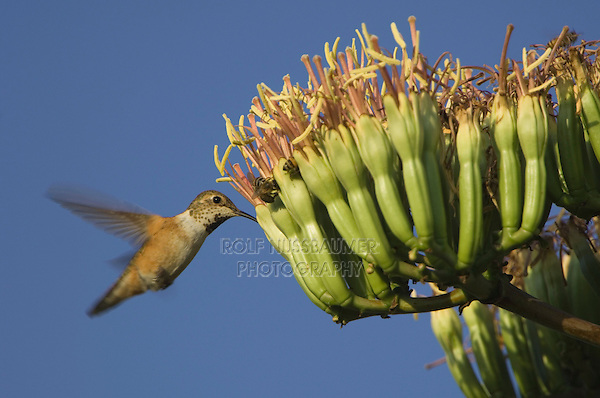 Rufous Hummingbird, Selasphorus rufus, young male in flight feeding on agave blossom, Paradise, Chiricahua Mountains, Arizona, USA, August 2005
