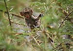 A vervet monkey perches in the thorny branches of an acacia tree at Lake Manyara in Tanzania.