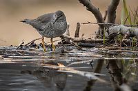 Wandering Tattler (Tringa incana) on a beaver pond in the mountains of Southcentral Alaska.