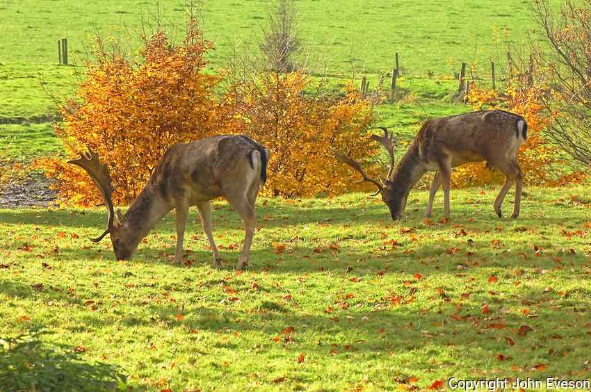 Fallow deer, Dunham Massey...Copyright John Eveson 01995 61280..j.r.eveson@btinternet.com