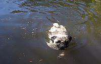 Pug dog swimming.