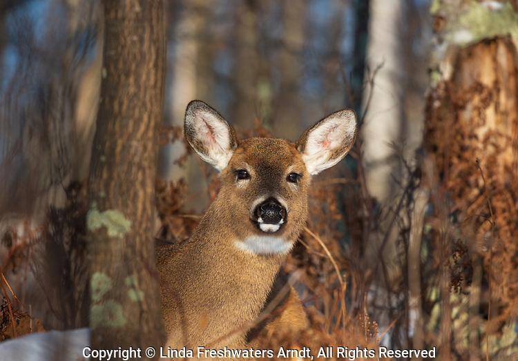White-tailed doe bedded in a northern Wisconsin forest.