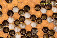 1B13-512z  Honeybee Hive, open cells containing larvae, Apis Mellifera, Race Carniolans