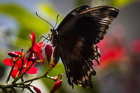A butterfly stops to sip nectar - one of the hundreds if thousands of butterflies that populate the Butterfly Pavilion in Westminster, Colorado.