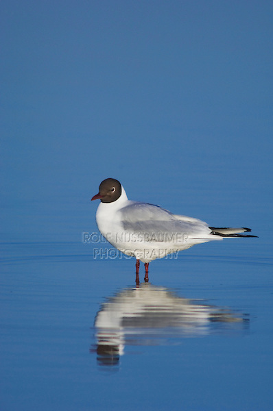 Black-headed Gull, Larus ridibundus, adult in breeding plumage in water,National Park Lake Neusiedl, Burgenland, Austria, April 2007