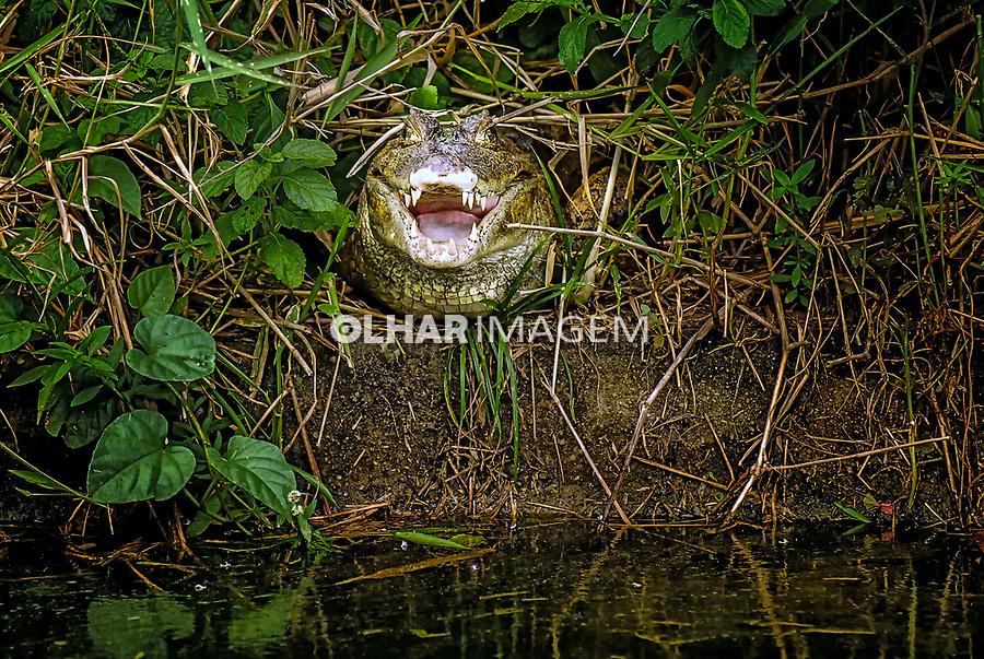 Jacaré-açu (Melanosuchus niger). Instituto de Desenvolvimento Sustentavel Mamiraua. Ariri. Amazonas. 2016. Foto de Sergio Amaral.