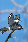Belted kingfisher -  male