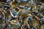 Catch of live Atlantic blue crab.