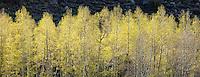 Spring Aspens, High Sierra