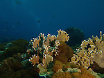 Shi Lang, Green Island -- Fire coral.