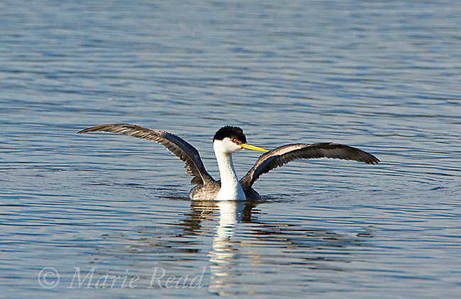 Western Grebe (Aechmophorus occidentalis), breeding plumage, stretching wings, California, USA