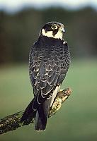 Baumfalke, Baum-Falke, Falke, Falco subbuteo, northern hobby