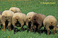 SH01-041z  Sheep - herd grazing