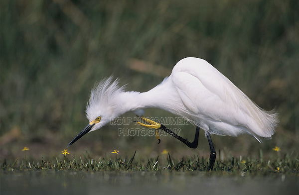 Snowy Egret, Egretta thula, adult preening, Lake Corpus Christi, Texas, USA