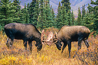 Bull Moose spar with antlers during the rut seasons in the boreal forest, Denali National Park, Alaska