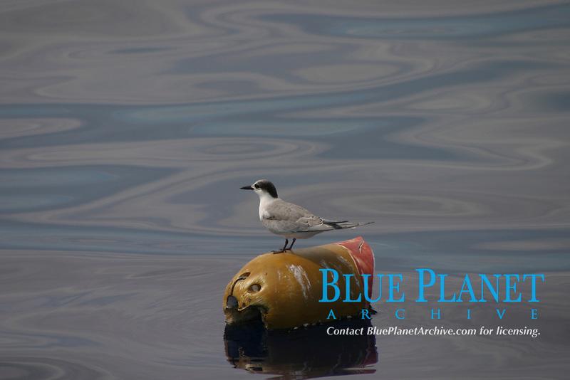 bird, roseate tern, Sterna dougallii, resting on flotsam, Azores Island, Portugal, North Atlantic