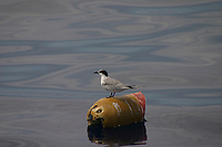 bird, roseate tern, Sterna dougallii, resting on flotsam, Azores Island, Portugal, North Atlantic