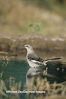01395-01711 Northern Mockingbird (Mimus polyglottos) bathing   Starr Co. TX