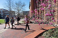 Spring Japanese magnolia blossoms outside McCool, with students walking past on sidewalk.<br />  (photo by Megan Bean / &copy; Mississippi State University)