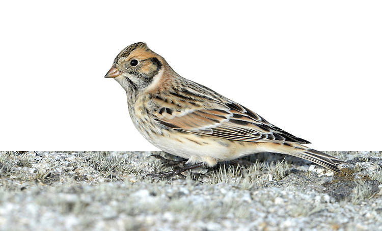 Lapland Bunting - Calcarius lapponicus. L 14-16cm. Nervous and wary bunting. Sexes are dissimilar. Adult male in summer (seldom seen here) has black face and throat defined by white line; crown is black and nape is chestnut. Underparts are mainly white and back is streaked brown and black. Bill is yellow. Adult female in summer (seldom seen here) has pale suggestion of male's head pattern. Winter adults and juvenile have reddish brown face with dark line defining ear coverts; crown is dark, back is streaked brown and note reddish brown wing panel and whitish wingbars. Whitish underparts are streaked on flanks. Voice Has a rattling flight call. Status Scarce passage migrant and winter visitor to coastal fields and saltmarshes, mainly in E England.