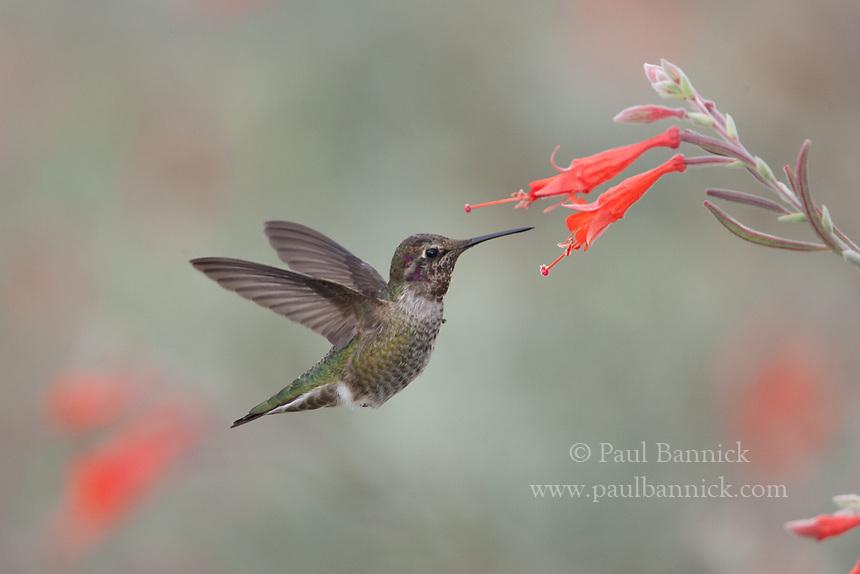 An immature Anna's Hummingbird feeds on a California Fuscia.