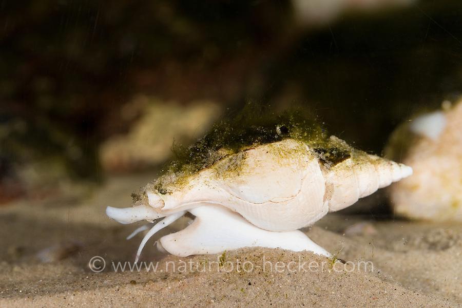 Röhrenhorn, Schlanke Spindelschnecke, Colus gracilis, Slender Colus, sea snail, marine gastropod mollusk