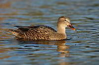 Mallard - Anas platyrhynchos - female