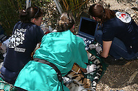 Betäubte Tigerin Cara wird untersucht von Tierärztin Johanna Painer und ihrem Team Julia Bohner und Jakob Winter im Großkatzengehege des Tierheims Rüsselsheim