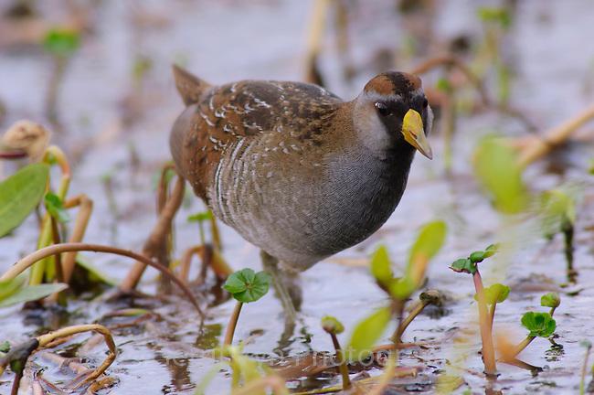 Adult Sora (Porzana carolina) in breeding plumage foraging in a marsh. Anahuac National Wildlife Refuge, Texas. March.