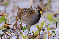 Adult Sora (Porzana carolina) in breeding plumage foraging in a marsh. Anahuac National Wildlife Refuge, Texas. March.