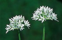 Bear's Garlic, Allium ursinum, blooming, Oberaegeri, Switzerland, April 1995